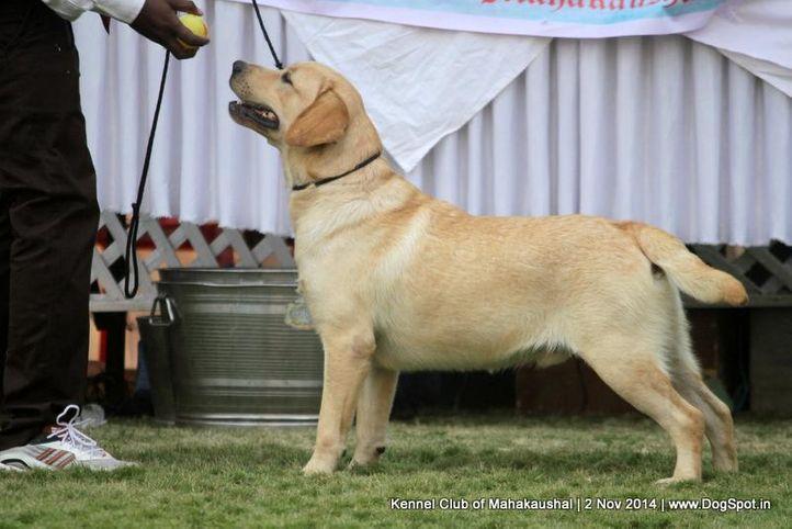 labrador retriver,sw-127,, Jabalpur Dog Show 2 Nov 2014, DogSpot.in