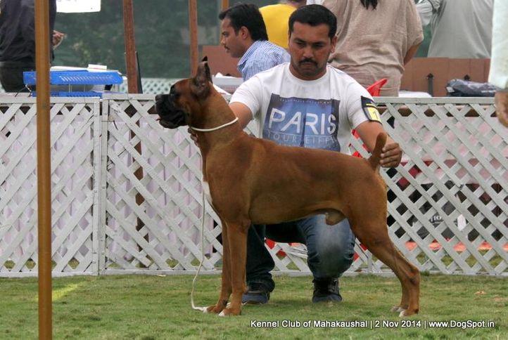 boxer,ex-109,sw-127,, ZAWODA BUSTER, Boxer, DogSpot.in