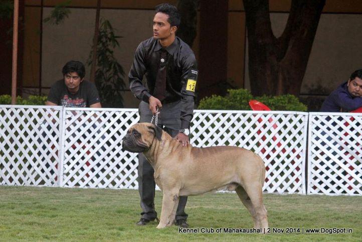bullmastiff,sw-127,, Jabalpur Dog Show 2 Nov 2014, DogSpot.in