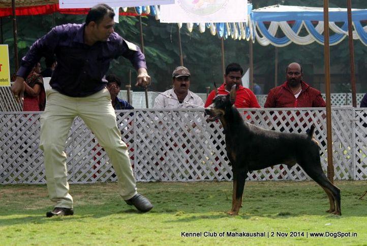 doberman,sw-127,, Jabalpur Dog Show 2 Nov 2014, DogSpot.in