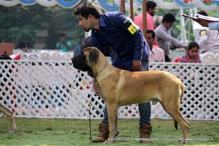 english mastiff,ex-155,sw-127,, TESORO BRKO SPRING OF SHANKY, Mastiff- English, DogSpot.in