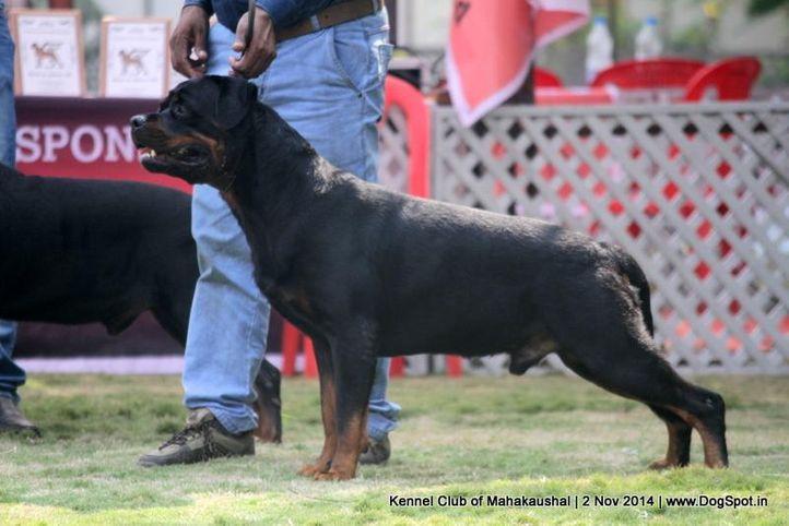 ex-160,rottweiler,sw-127,, ROSY'S ZOMBHI, Rottweiler, DogSpot.in