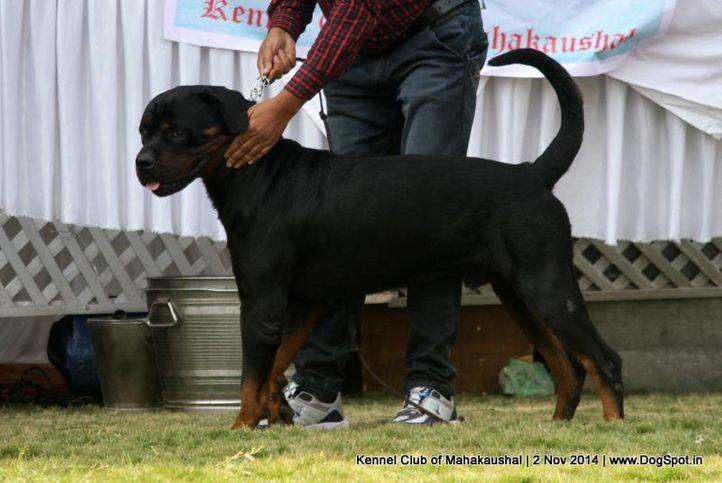 ex-161,rottweiler,sw-127,, TAYCO, Rottweiler, DogSpot.in