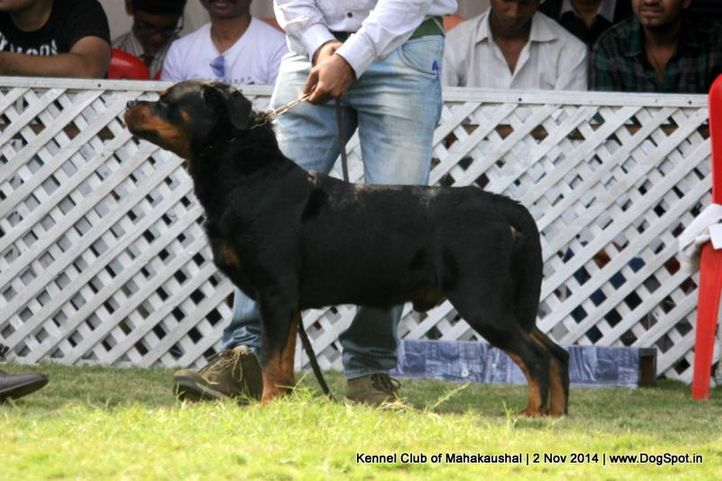 ex-162,rottweiler,sw-127,, JUMBO VON KELEMEN, Rottweiler, DogSpot.in