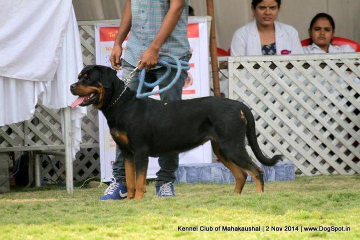 ex-169,rottweiler,sw-127,, OLY, Rottweiler, DogSpot.in