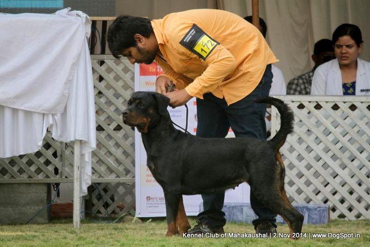 ex-172,rottweiler,sw-127,, BELLA OF MORMITAN, Rottweiler, DogSpot.in