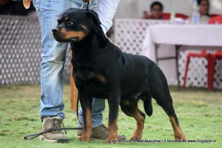 rottweiler,sw-127,, Jabalpur Dog Show 2 Nov 2014, DogSpot.in