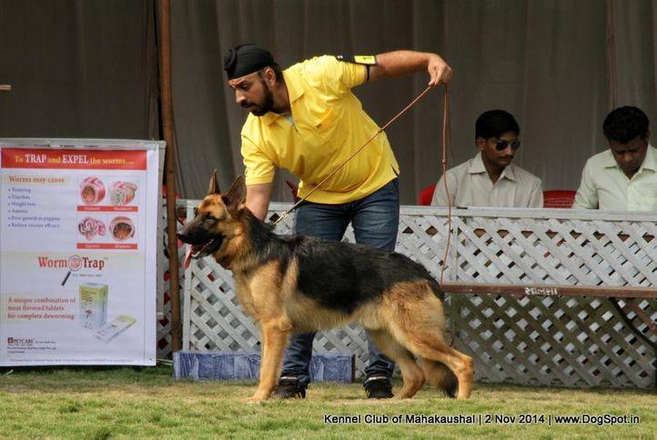 ex-182,german shepherd,sw-127,, SHAILA'S THOR, German Shepherd Dog, DogSpot.in
