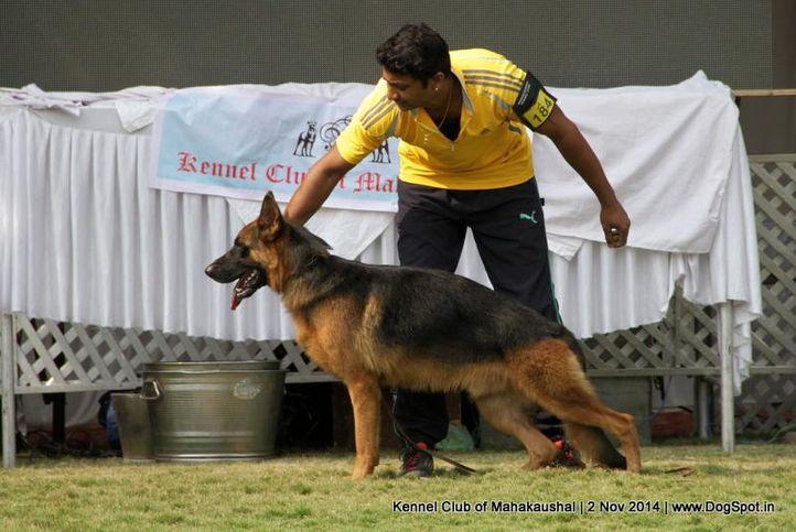 ex-184,german shepherd,sw-127,, AARON OF AROYSHEPHARD, German Shepherd Dog, DogSpot.in