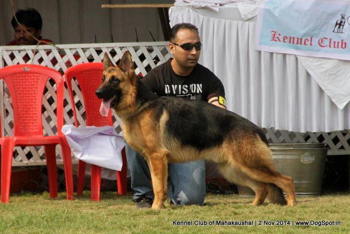 ex-187,german shepherd,sw-127,, SHIPHILL'S CRAZY BOY, German Shepherd Dog, DogSpot.in