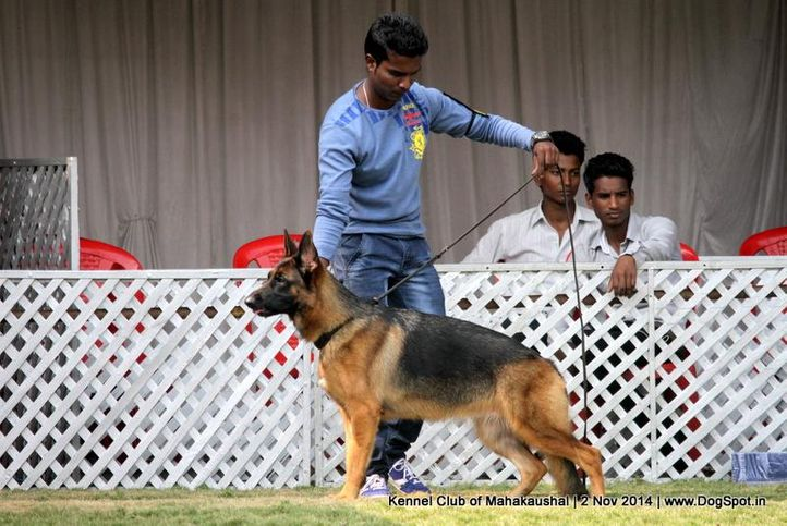 german shepherd,sw-127,, Jabalpur Dog Show 2 Nov 2014, DogSpot.in
