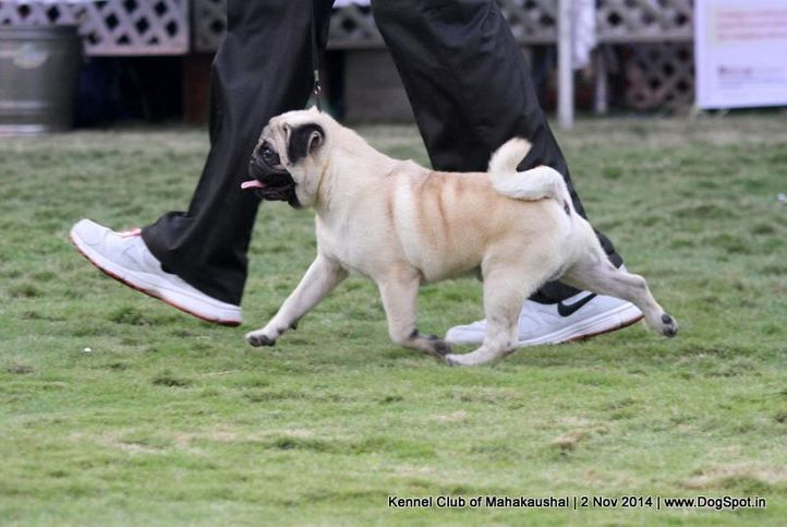 pug,sw-127,, Jabalpur Dog Show 2 Nov 2014, DogSpot.in