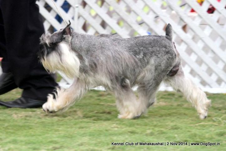 ex-31,miniature schnauzer,sw-127,, OWIN'S STYLISH BOY, Miniature Schnauzer, DogSpot.in