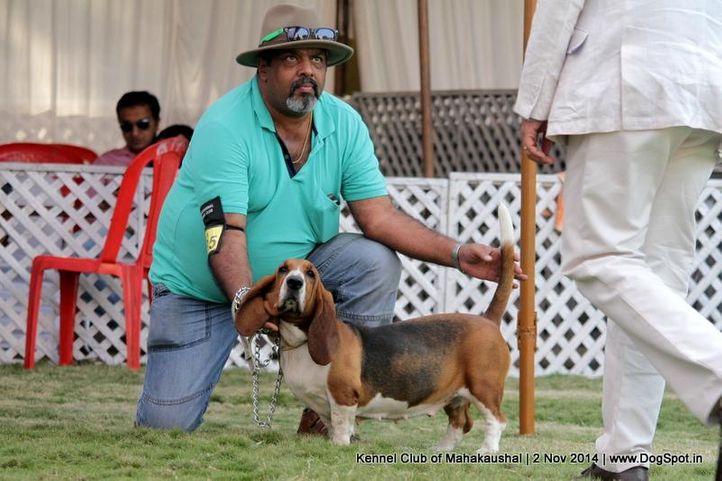 basset hound,ex-35,sw-127,, MISTY, Basset Hound, DogSpot.in