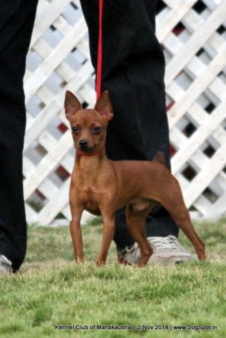 ex-2,miniature pinscher,sw-127,, MILLION BERG'S BRAVO, Miniature Pinscher, DogSpot.in