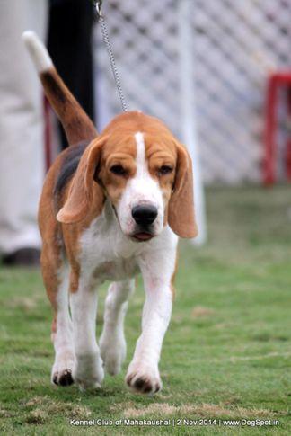 beagle,ex-37,sw-127,, YUVI'S ELECTRUM, Beagle, DogSpot.in
