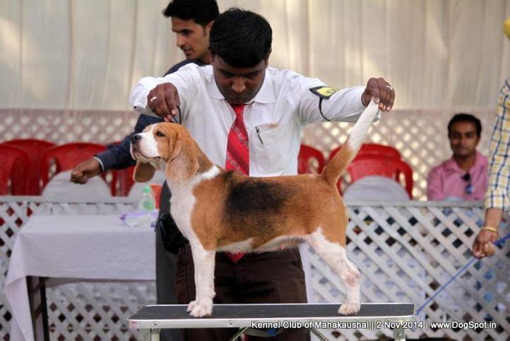 beagle,ex-40,sw-127,, LOVE OF THRIPATHI'S, Beagle, DogSpot.in