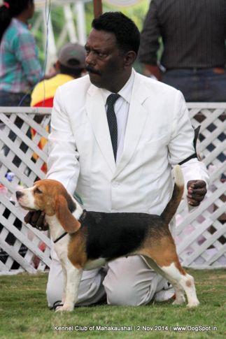 beagle,ex-41,sw-127,, WINALL'S HERITAGE WINE , Beagle, DogSpot.in