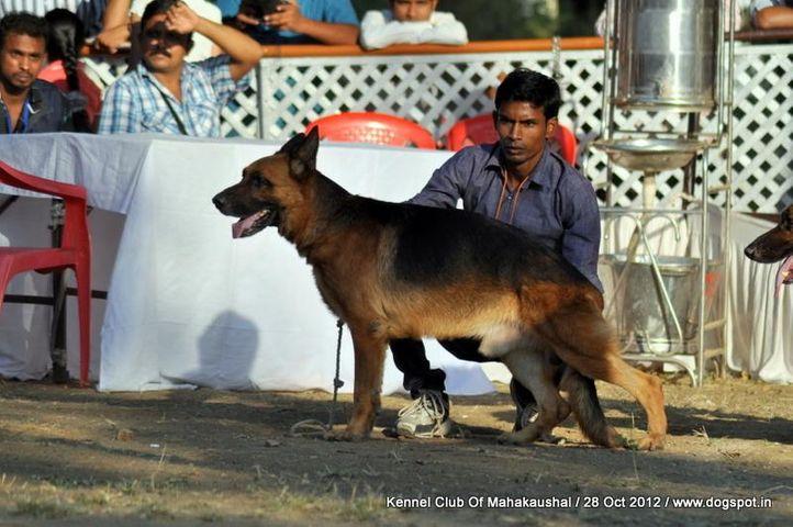 ex-161,german shephard,sw-60,, DEEPA'S AJAX, German Shepherd Dog, DogSpot.in