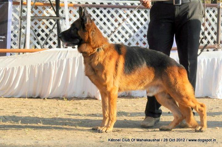 ex-167,german shephard,sw-60,, MAKEY BLUE GRIS, German Shepherd Dog, DogSpot.in