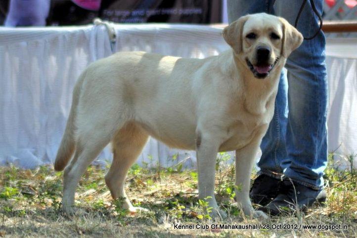 ex-63,labrador retriever,sw-60,, MIKA, Labrador Retriever, DogSpot.in