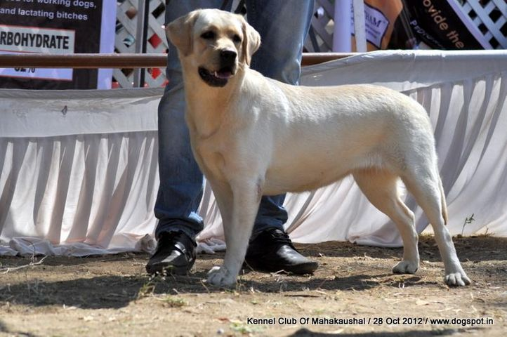 ex-63,labrador retriever,sw-60,, MIKA, Labrador Retriever, DogSpot.in