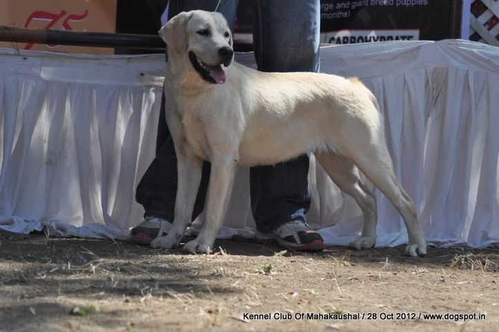 ex-62,labrador retriever,sw-60,, ANGELINA, Labrador Retriever, DogSpot.in