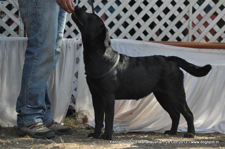 ex-59,labrador retriever,sw-60,, CHINAR'S CYCLONE, Labrador Retriever, DogSpot.in