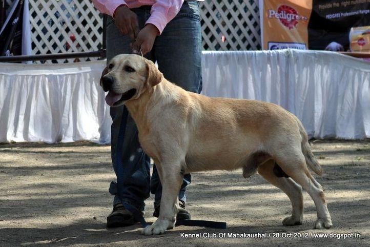 ex-55,labrador retriever,sw-60,, VIDANE'S ALEXANDRA ALEX, Labrador Retriever, DogSpot.in
