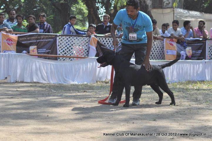 ex-194,labrador retriever,sw-60,, Jabalpur Dog Show 2012, DogSpot.in