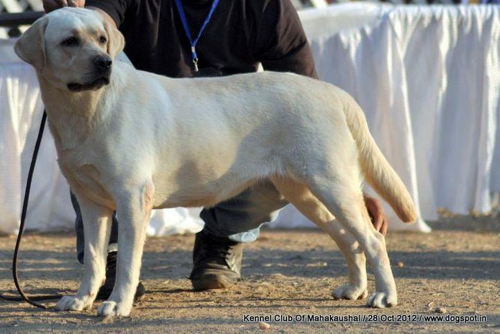 labrador retriever,sw-60,, Jabalpur Dog Show 2012, DogSpot.in