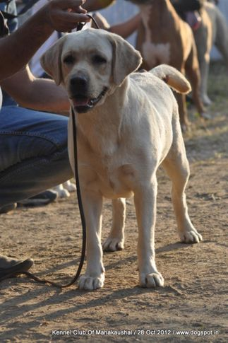 labrador retriever,sw-60,, Jabalpur Dog Show 2012, DogSpot.in
