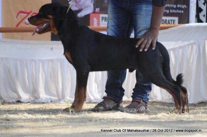 ex-188,rottweiler,sw-60,, Jabalpur Dog Show 2012, DogSpot.in