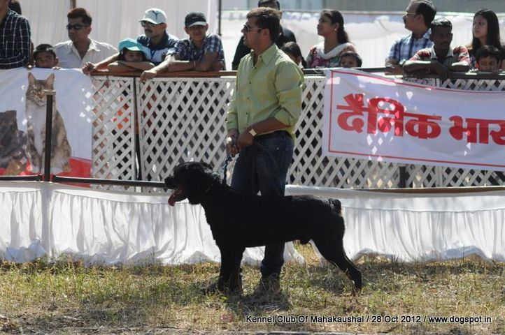 rottweiler,sw-60,, Jabalpur Dog Show 2012, DogSpot.in