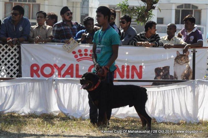 ex-128,rottweiler,sw-60,, BHINU, Rottweiler, DogSpot.in