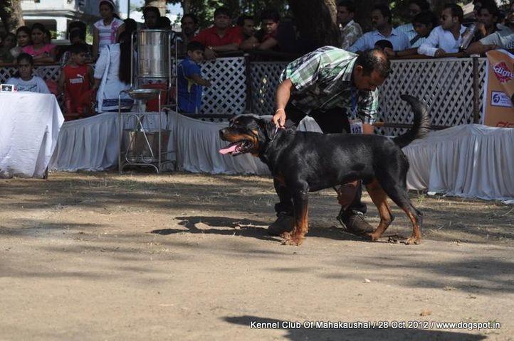 ex-127,rottweiler,sw-60,, THOMAS, Rottweiler, DogSpot.in