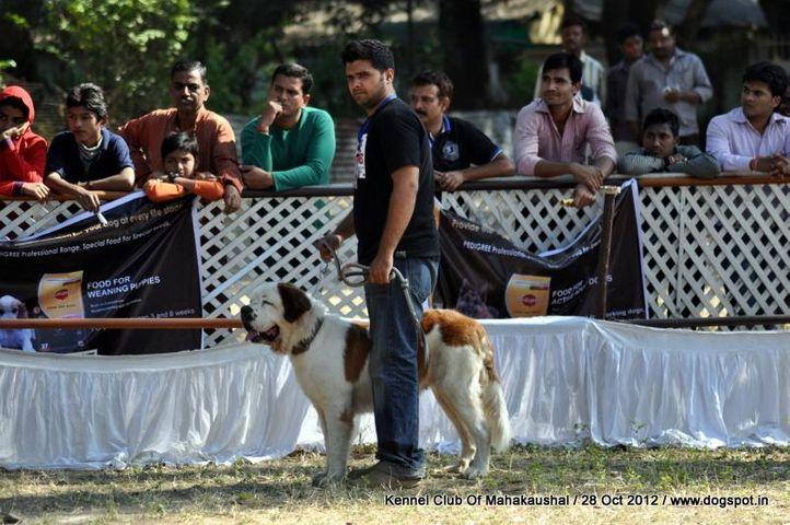 St Bernard,sw-60,, Jabalpur Dog Show 2012, DogSpot.in