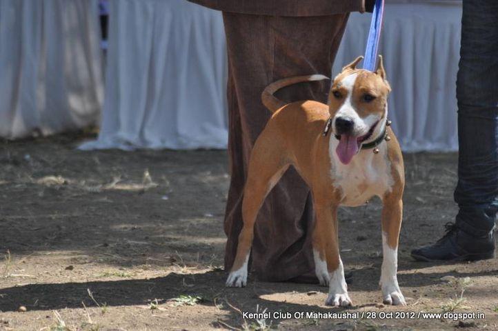 ex-17,staffordshire bull terrier,sw-60,, HASHMEET'S EKUM, Staffordshire Bull Terrier, DogSpot.in