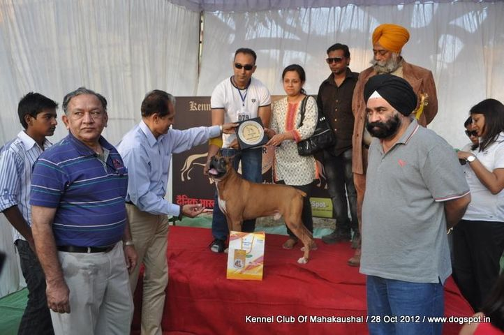boxer,lineup,sw-60,, Jabalpur Dog Show 2012, DogSpot.in