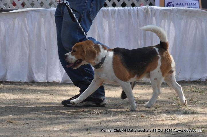 beagle,ex-27,sw-60,, BIMRO'S SILINCER, Beagle, DogSpot.in
