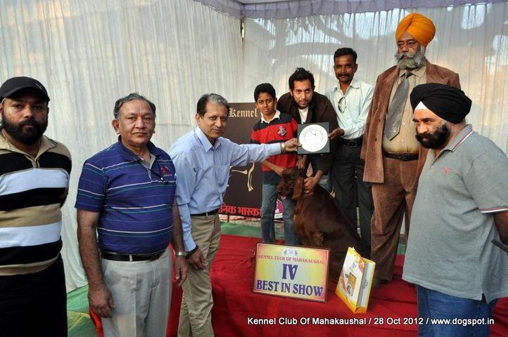 irish setter,lineup,sw-60,, Jabalpur Dog Show 2012, DogSpot.in