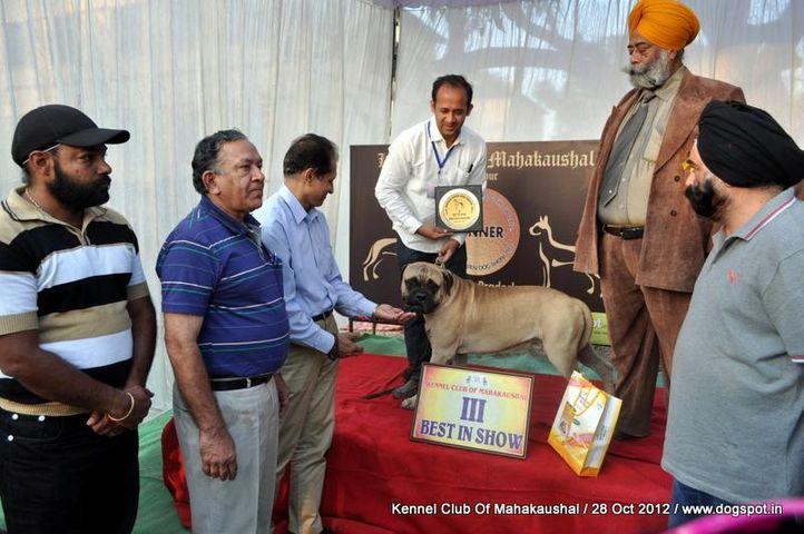 bullmastiff,lineup,sw-60,, Jabalpur Dog Show 2012, DogSpot.in