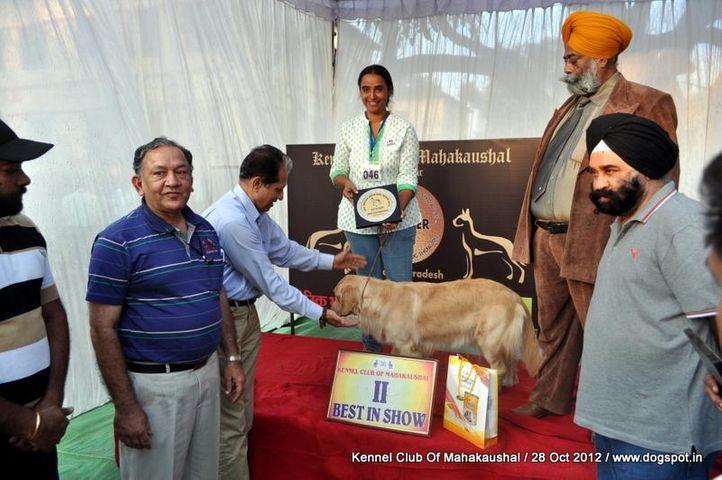 golden retriever,lineup,sw-60,, Jabalpur Dog Show 2012, DogSpot.in