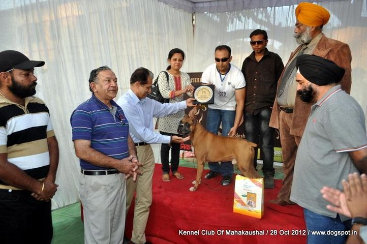 boxer,lineup,sw-60,, Jabalpur Dog Show 2012, DogSpot.in