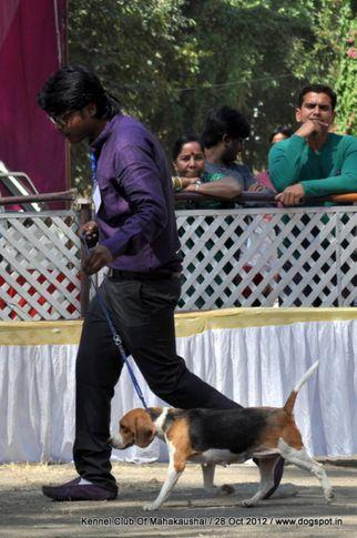 beagle,sw-60,, Jabalpur Dog Show 2012, DogSpot.in