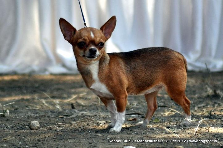 chihuahua,ex-1,sw-60,, KARBET'S CANDY, Chihuahua (Smooth Coat), DogSpot.in