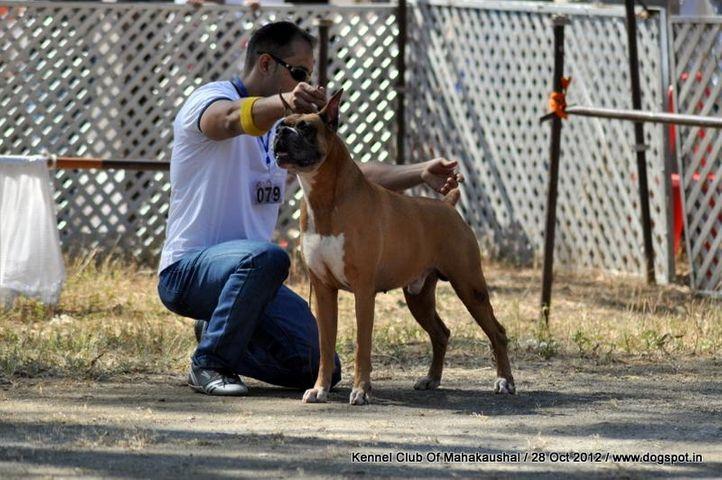 boxer,ex-79,sw-60,, WALGRE'S BRUNO, Boxer, DogSpot.in