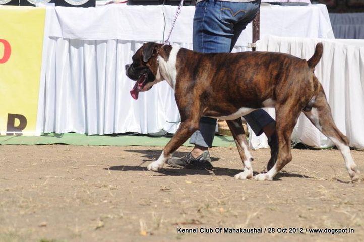 boxer,ex-73,sw-60,, GOZO, Boxer, DogSpot.in