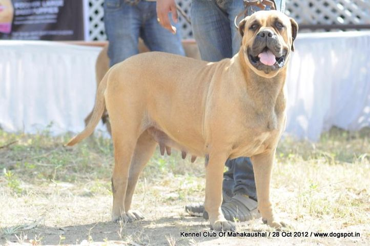 bullmastiff,ex-91,sw-60,, BUGANA'S AUGESTINA OF THEROGUARD, Bullmastiff, DogSpot.in
