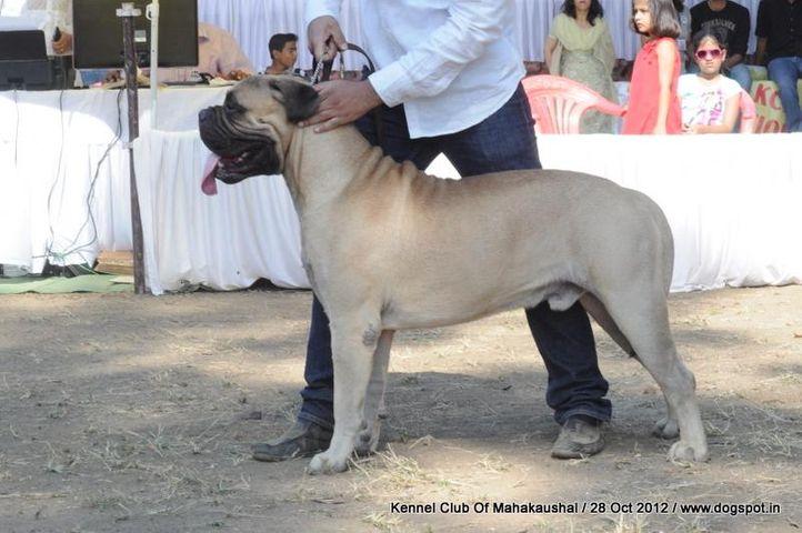 bullmastiff,ex-82,sw-60,, I BRAVI RAGAZZI JUST A GIGOLO, Bullmastiff, DogSpot.in